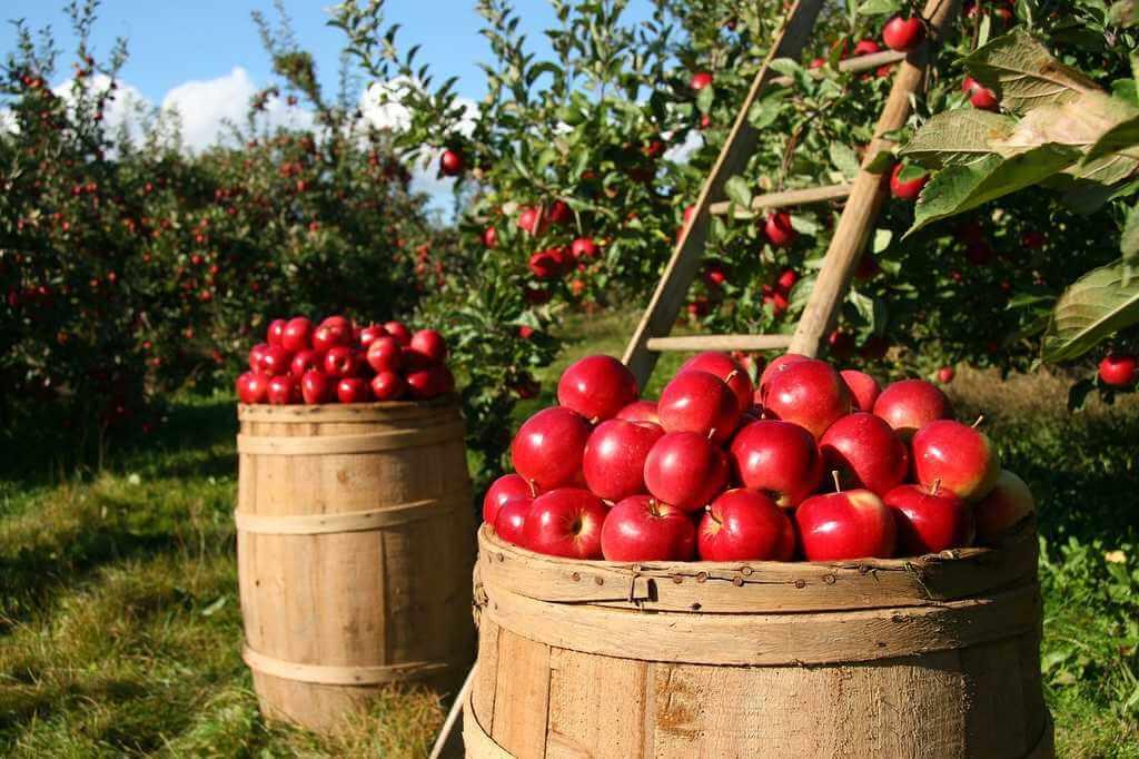 Äpplen och andra frukter kan användas för byteshandel